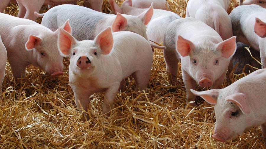 piglets at feeding time