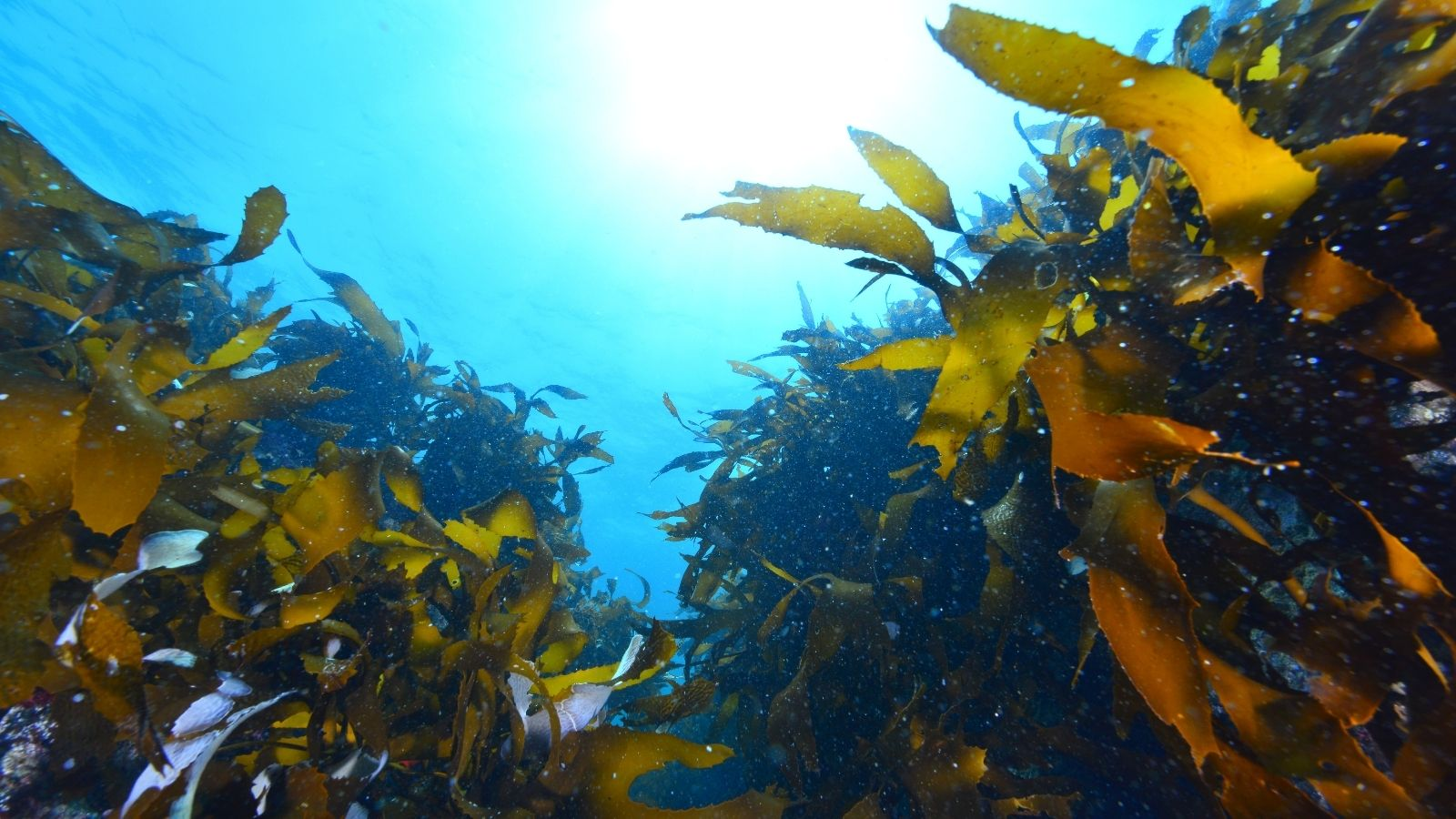 Seaweed is vital in our fight against climate change