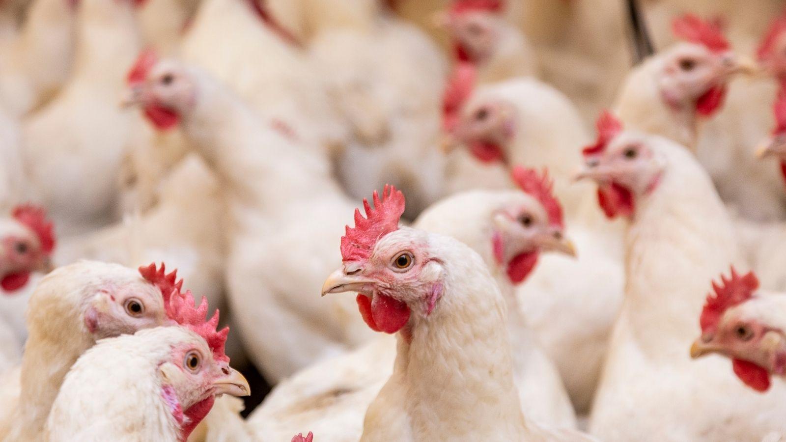 Broiler Chickens in Farm