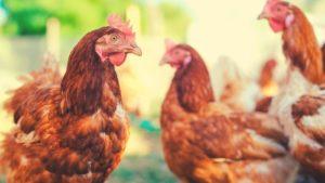Free Range Broiler Chickens