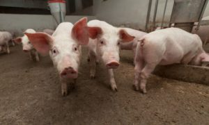 Pigs post weaning